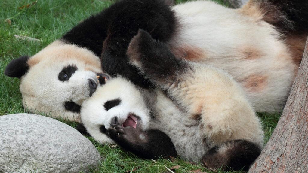 Chinese Gold Panda Review Mother Panda and cub playing